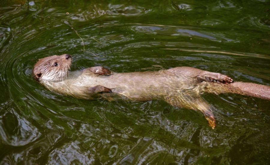 Animais Aquáticos: Lontra=Neotropical