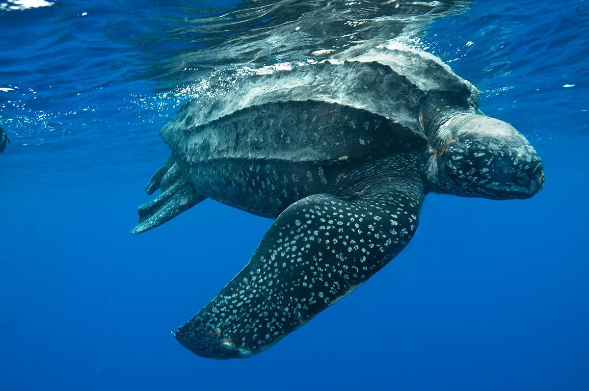 Animais Aquáticos: Tartaruga-marinha