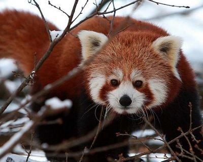 Animal encontrado na floresta temperada