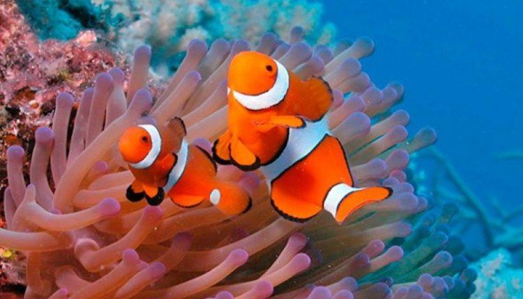 Respiração branquial - Animais aquáticos: peixe-palhaço