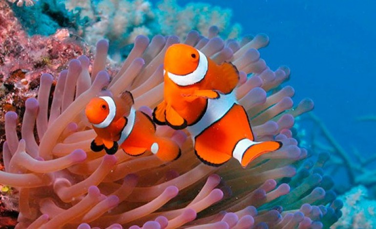 Animais Aquáticos: peixe-palhaço