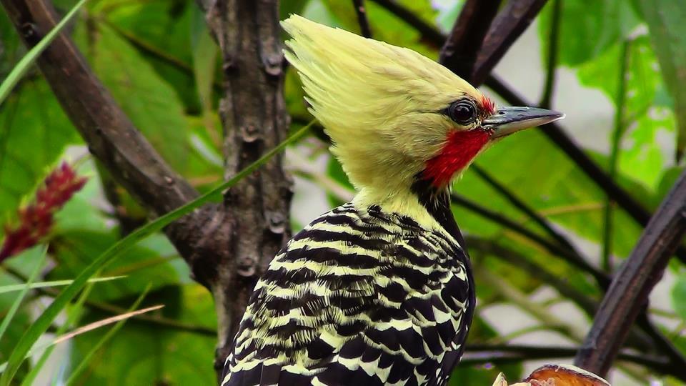 Pica-pau-da-cabeça-amarela