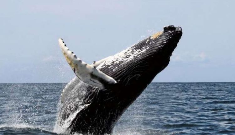 Baleia Franca do Sul - Tudo sobre
