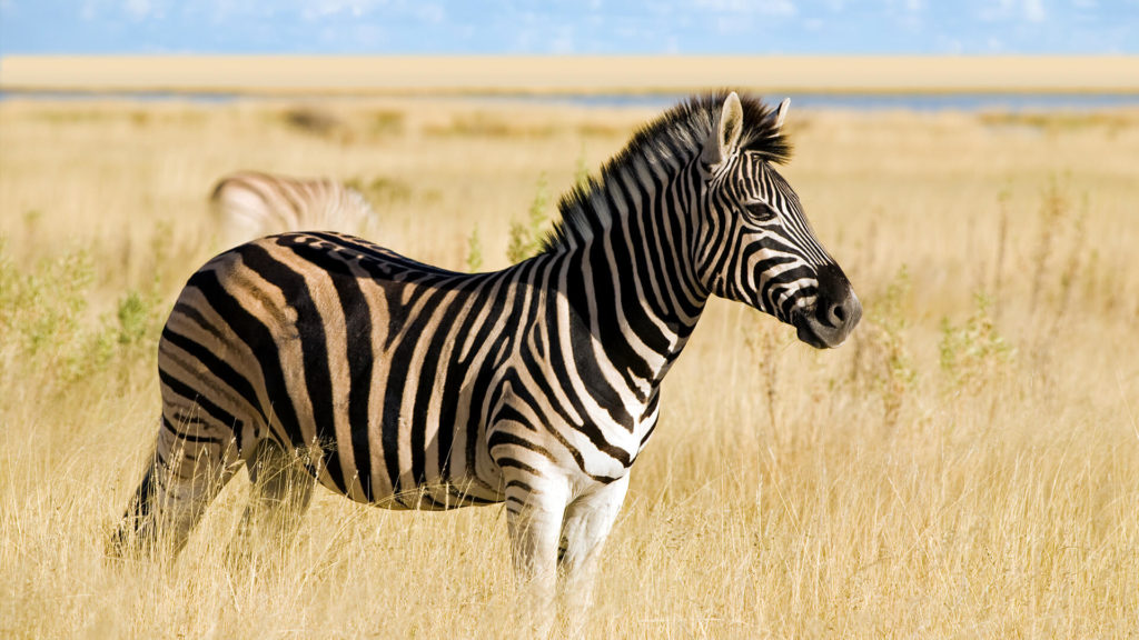 Zebra no pasto