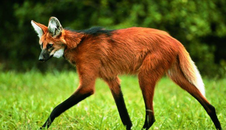 Confira tudo sobre o lobo-guará