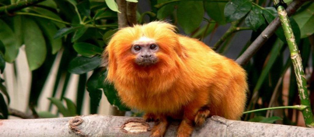 Tudo sobre o mico-leao-dourado