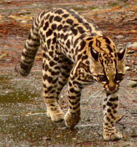 Habitat gato-maracajá