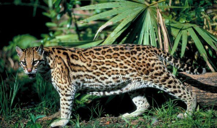 Imagem do Gato-maracajá