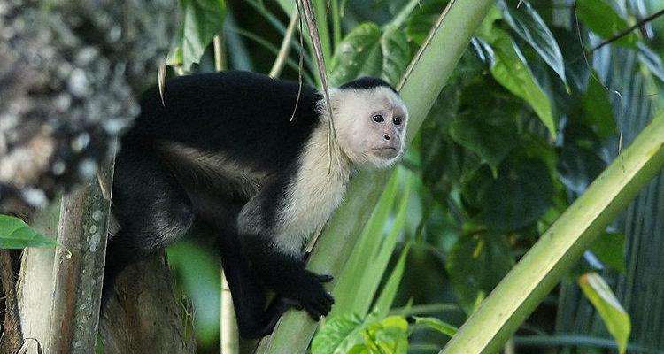 Imagem Macaco-caiarara