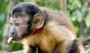 Características do Macaco-Prego