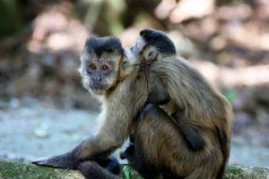 Como é o Macaco-Prego?