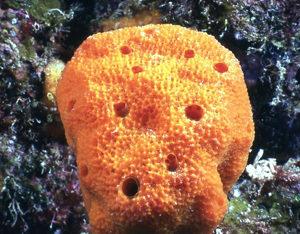 Esponjas do mar