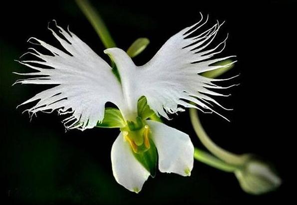 Orquídea-garça