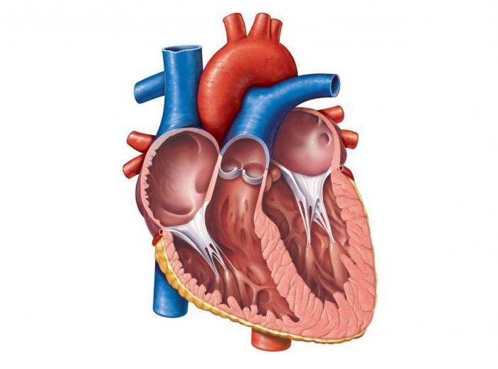 Coração humano seccionado