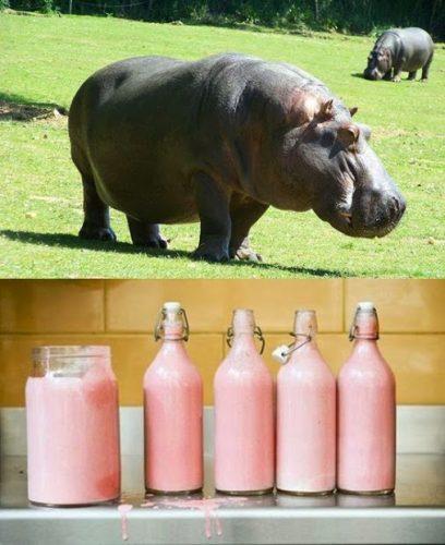 Leite de hipopótamo é tão rosa quanto um iogurte de morango