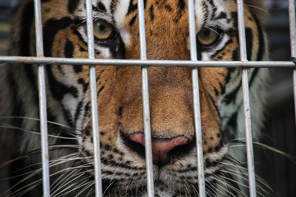Há mais tigres em cativeiros nos EUA do que na natureza em todo o mundo