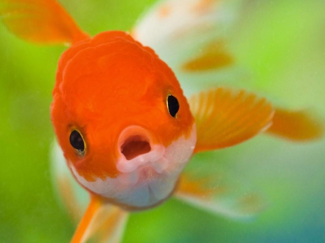 Se você mantiver seu peixe-dourado em um quarto escuro, ele perderá a cor