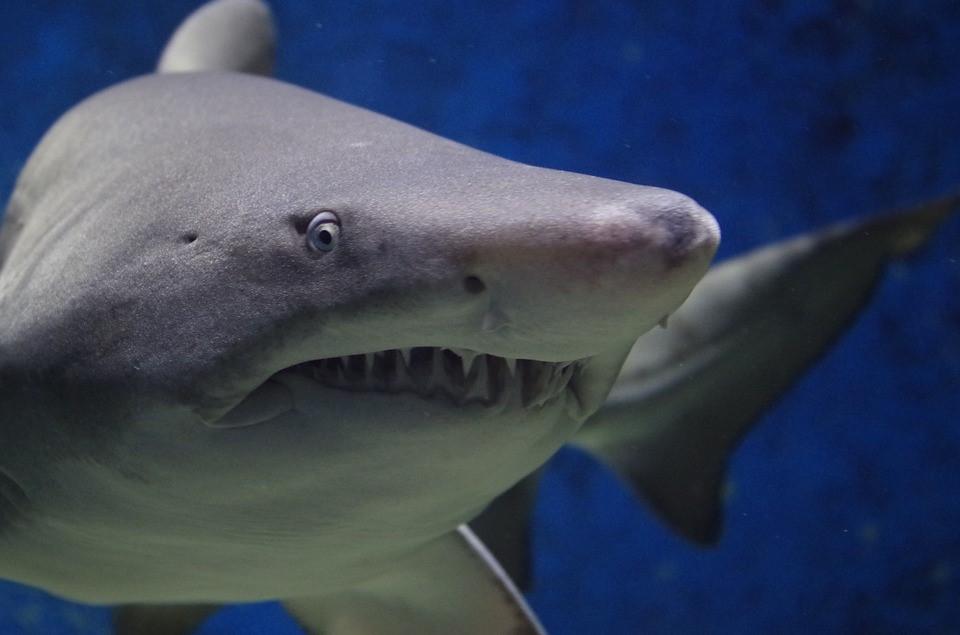 Tubarões vieram antes das árvores