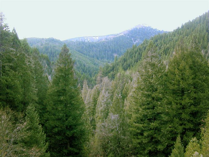 Floresta conífera