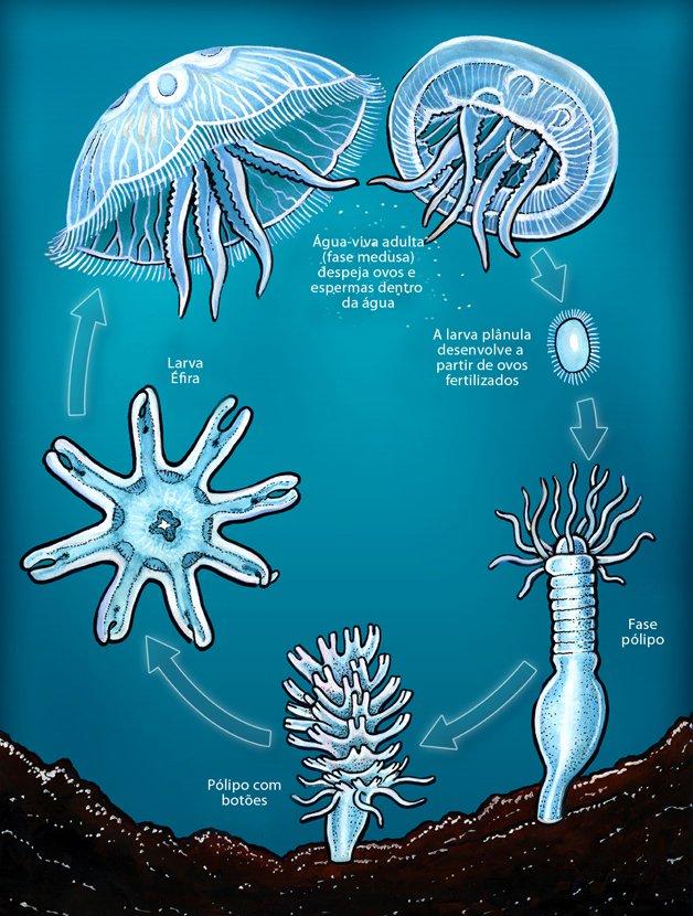 Reprodução da água-viva