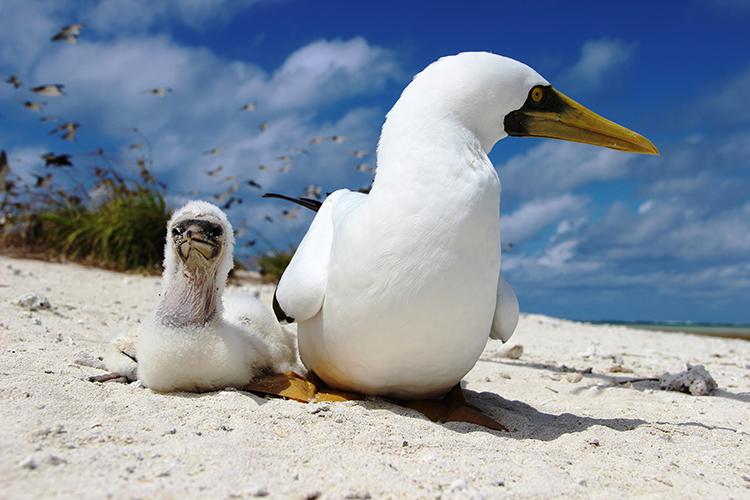 Aves marinhas no Atol das Rocas