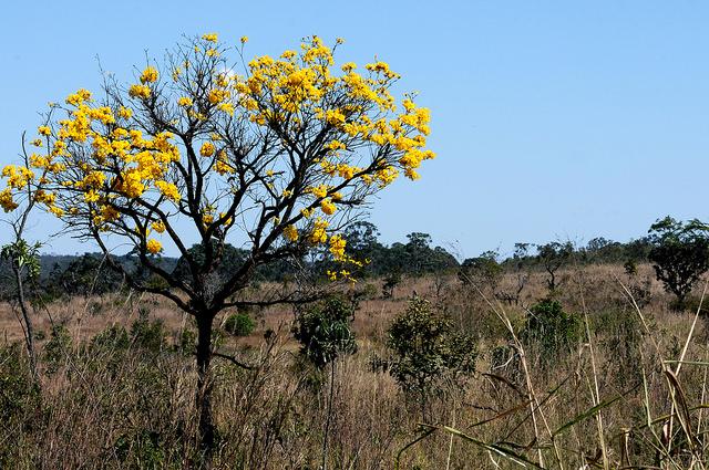 Ipê amarelo, árvore típica do Distrito Federal