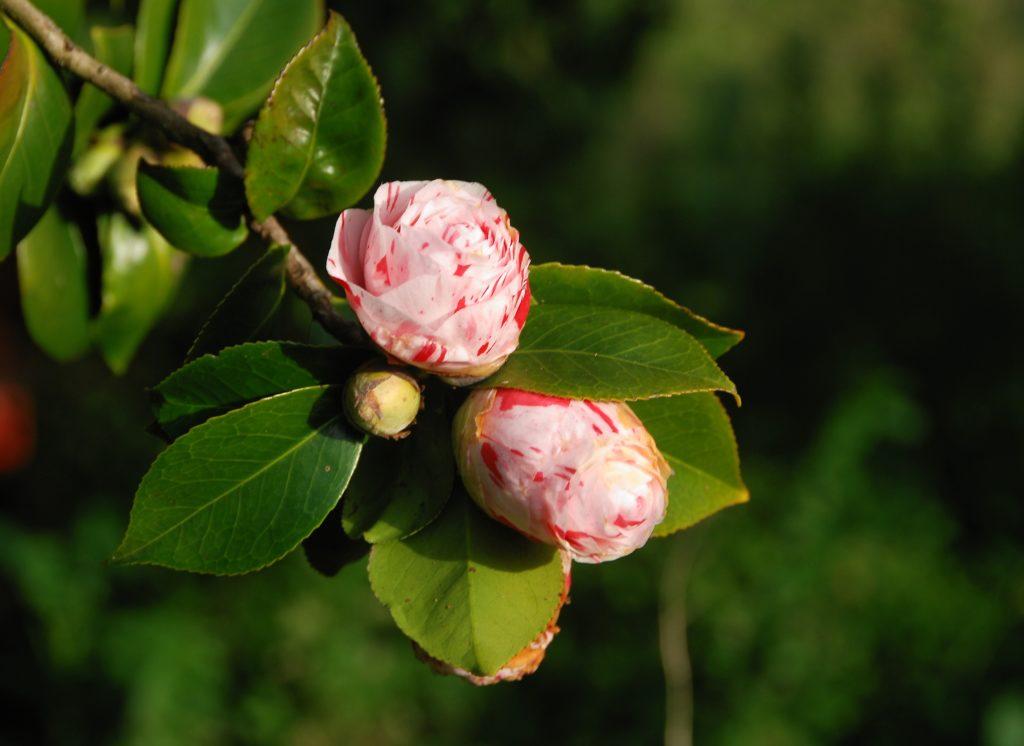 Camélia - nome de plantas ornamentais