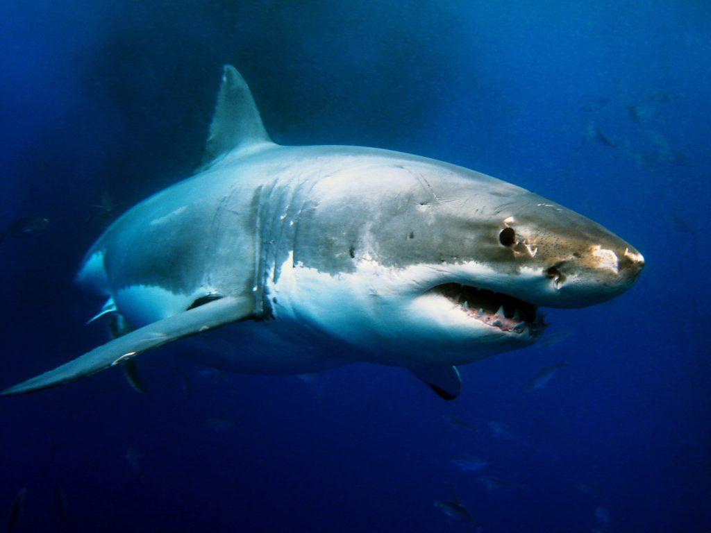 Tubarão-branco (Carcharodon carcharias)