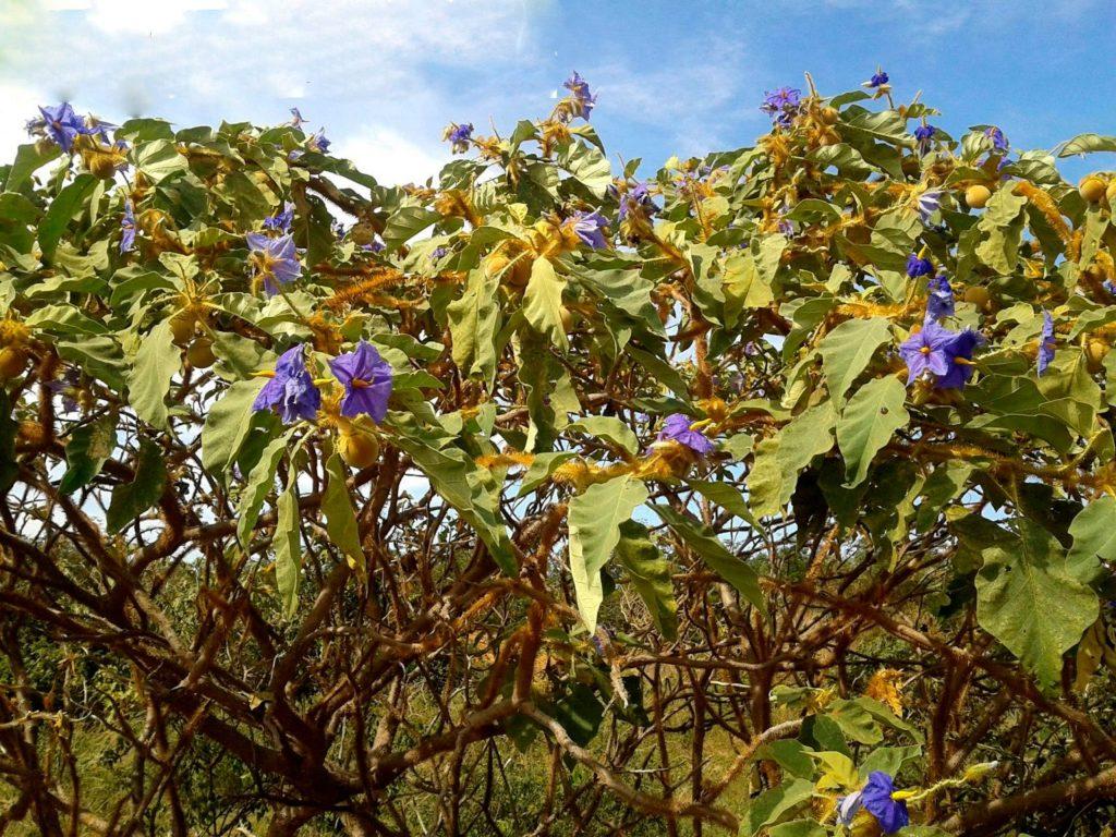 Lobeira (Solanum lycocarpum)