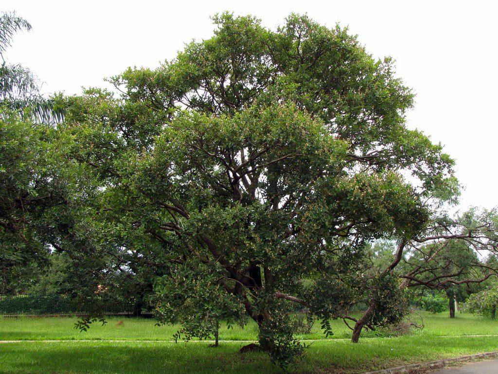 Pau-terra (Qualea grandiflora)