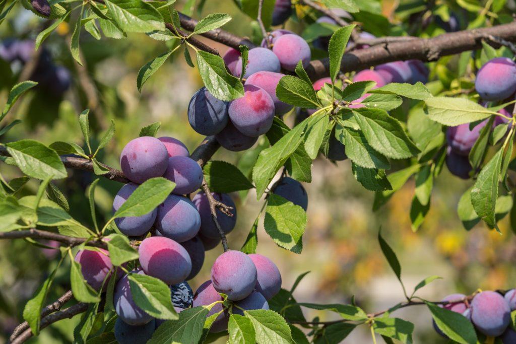 Fruta com A - Ameixa