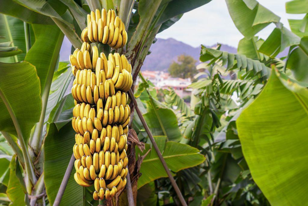 Fruta com B - Banana