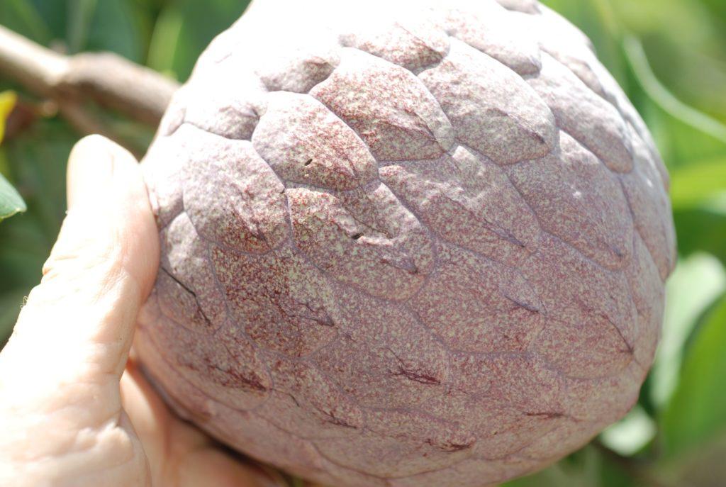 ilama-fruta