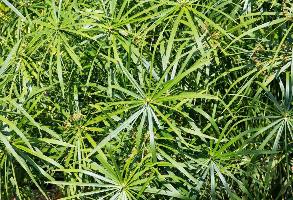 Sombrinha-Chinesa (Cyperus Alternifolius)