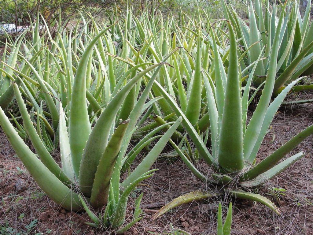 Babosa (Aloe vera)