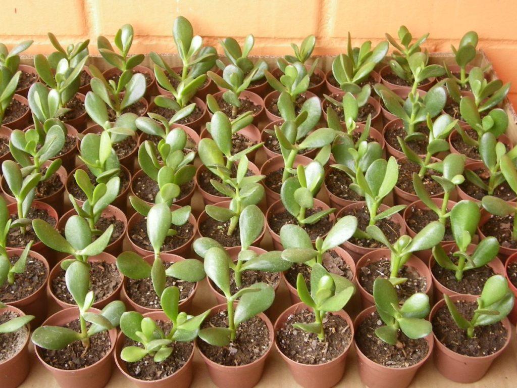 Planta de Jade (Crassula ovata)