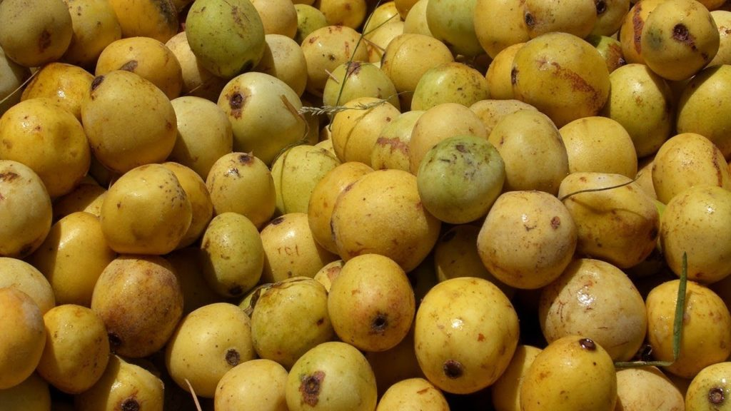 marula-fruta