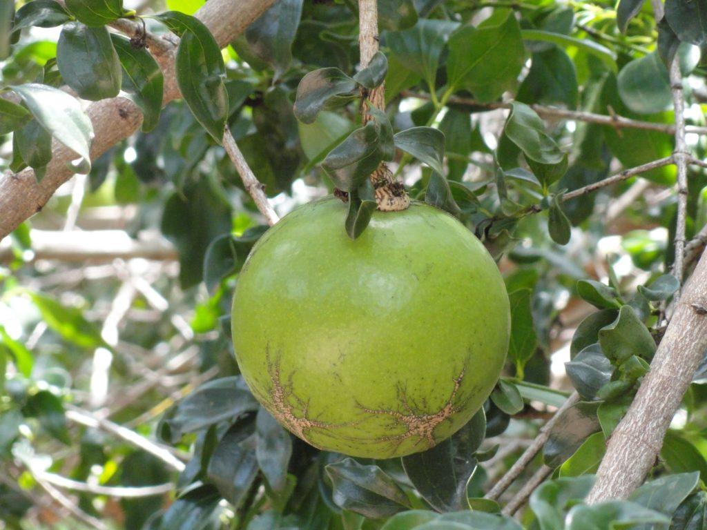 Massala-fruta