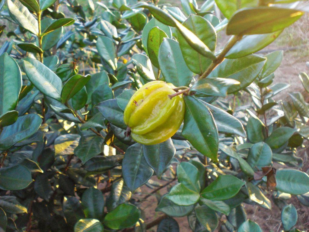 pitangatuba-fruta