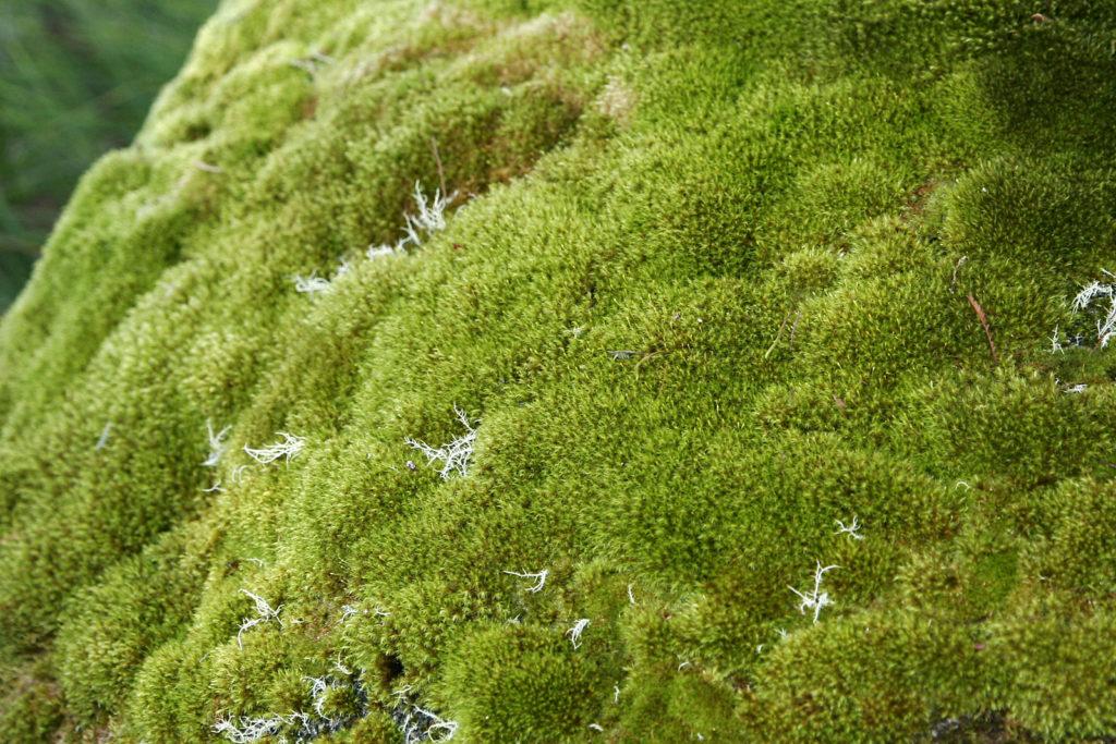 planta-musgo