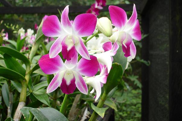 Planta para jardim: Orquídeas