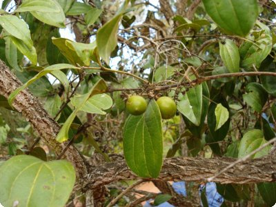 Fruta com Q - Quina