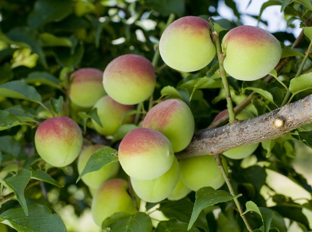 Fruta com U - Umê