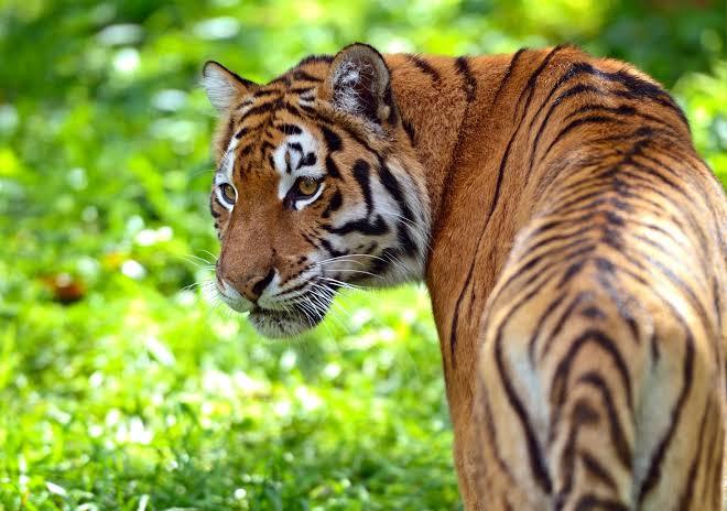 Tigre do Sul da China