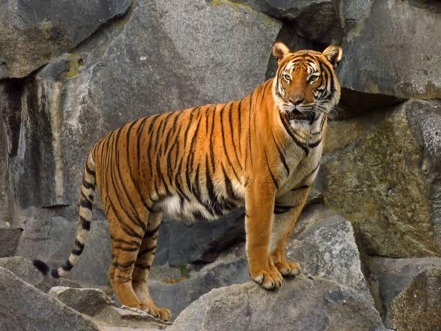 Tigre Indochinês