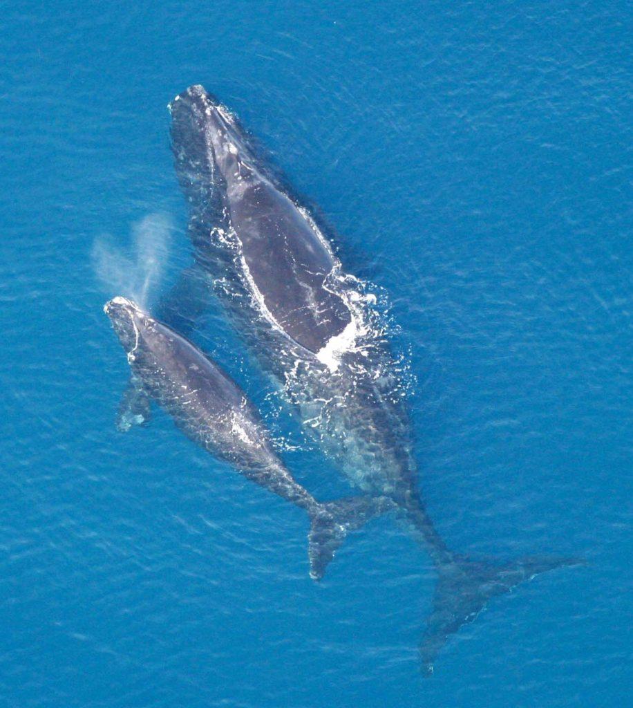 Maiores baleias do mundo - Baleia-franca-do-norte