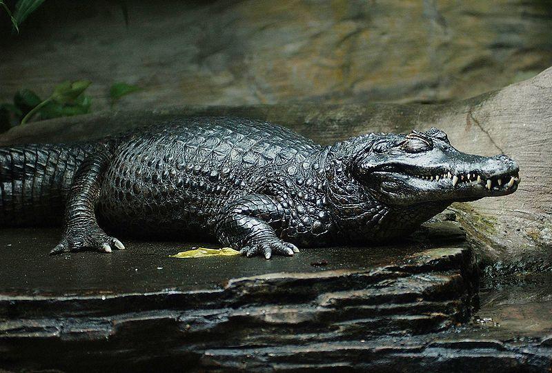 Animais da Amazônia: Jacaré-Açú