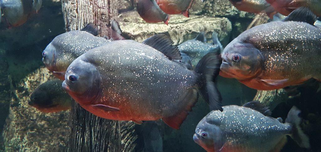 Animais da Amazônia: Piranha Vermelha