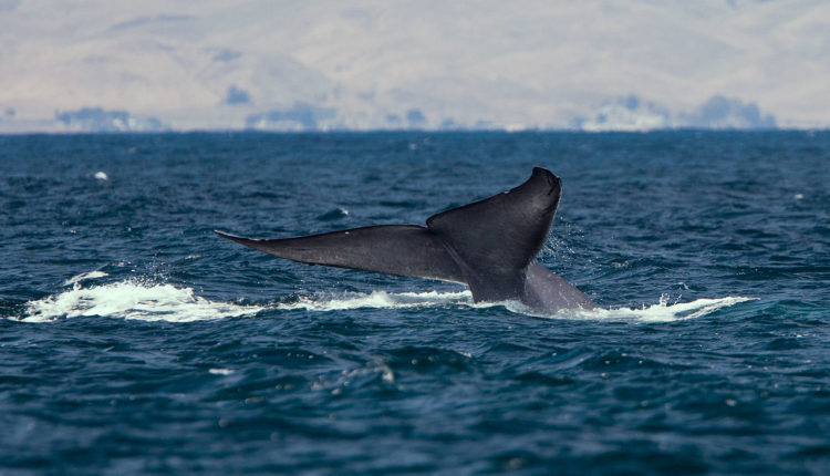 Maiores baleias do mundo