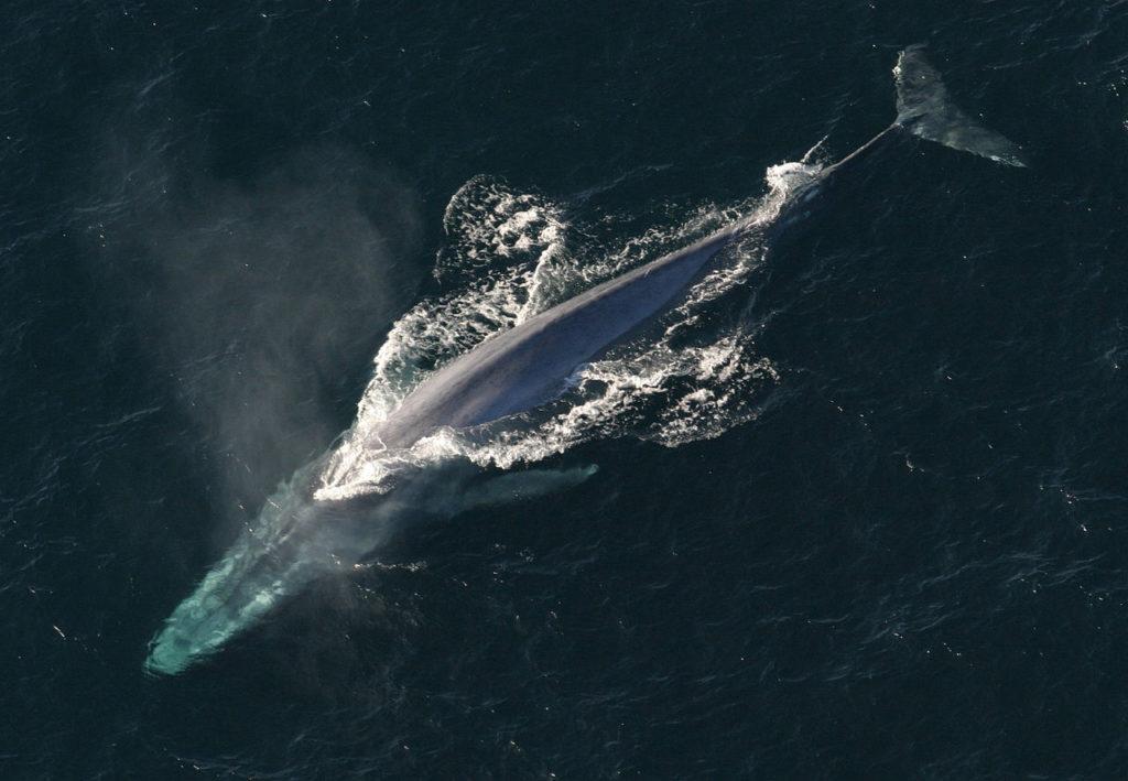 Maiores baleias do mundo - Baleia-azul